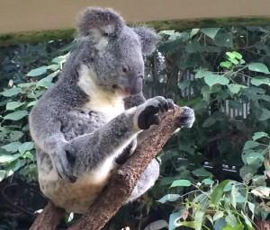 Stretching koala